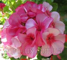 Семена пеларгонии Маверик F1 розовая 100 шт