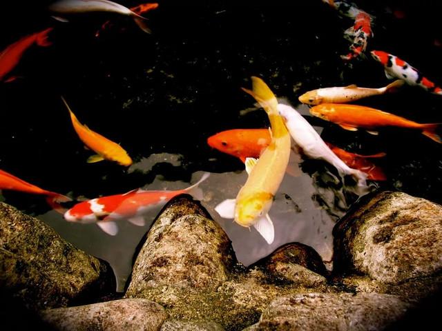 Корм для ставкових риб