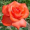 Роза Фаер баль
