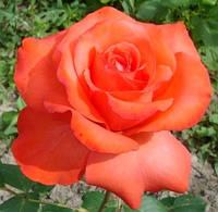 Роза Фаер баль, фото 1