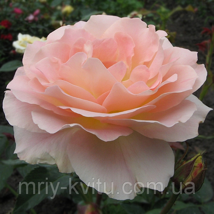 Саженец роз чайно-гибридной ВИВАЛЬДИ