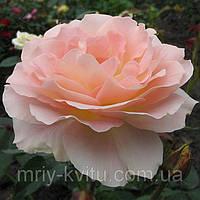 Саженец роз чайно-гибридной ВИВАЛЬДИ, фото 1