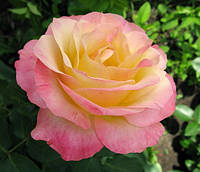 Саженец роз чайно-гибридной ГЛОРИЯ (ПИС)