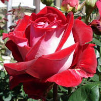 Саженец роз чайно-гибридной ЛЮКСОР