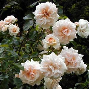 Саджанця мелкоцветоковой троянди КРЕМОВИЙ