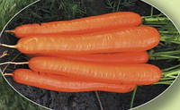 Морковь Бентли F1 100 000 сем. Agri.