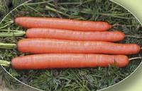 Морковь Метро F1 100 000 сем. Agri.