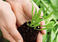 Нужно ли обрабатывать семена шпината перед высадкой?