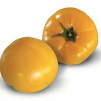 Семена желтого томата Ямамото (КС 10) F1 100 шт, KS 10 (Ямамото) Китано Сидс