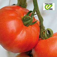Красный крупноплодный томат Берберана F1 / Berberana F1 от Энза Заден (Enza Zaden)