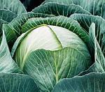 В каком месяце высаживать семена ранней капусты?