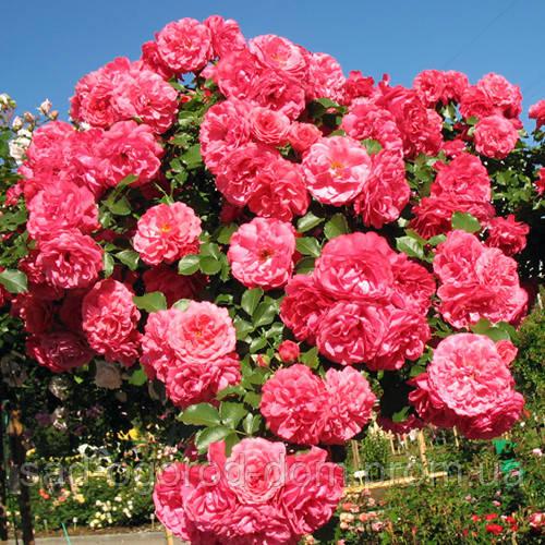 Роза в'юнка Розаріум ютерзеен (Rosarium Uetersen)