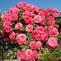 Роза плетистая Розариум ютерзеен (Rosarium Uetersen)