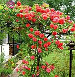 Роза плетистая Майнтауэр (Maintower), фото 2