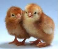 Инкубационное яйцо Фокси Чик