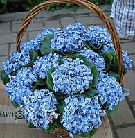 Незабудка голубая, фото 1