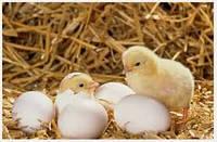 Инкубационное яйцо Редбро