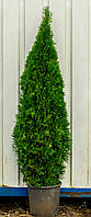 Туя Западная Smaragd (Thuja occidentalis Smaragd) h = 120-140 cm