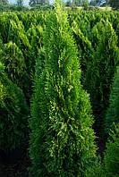 Туя западная Смарагд (Thuja occidentalis Smaragd) h = 150-160 cm