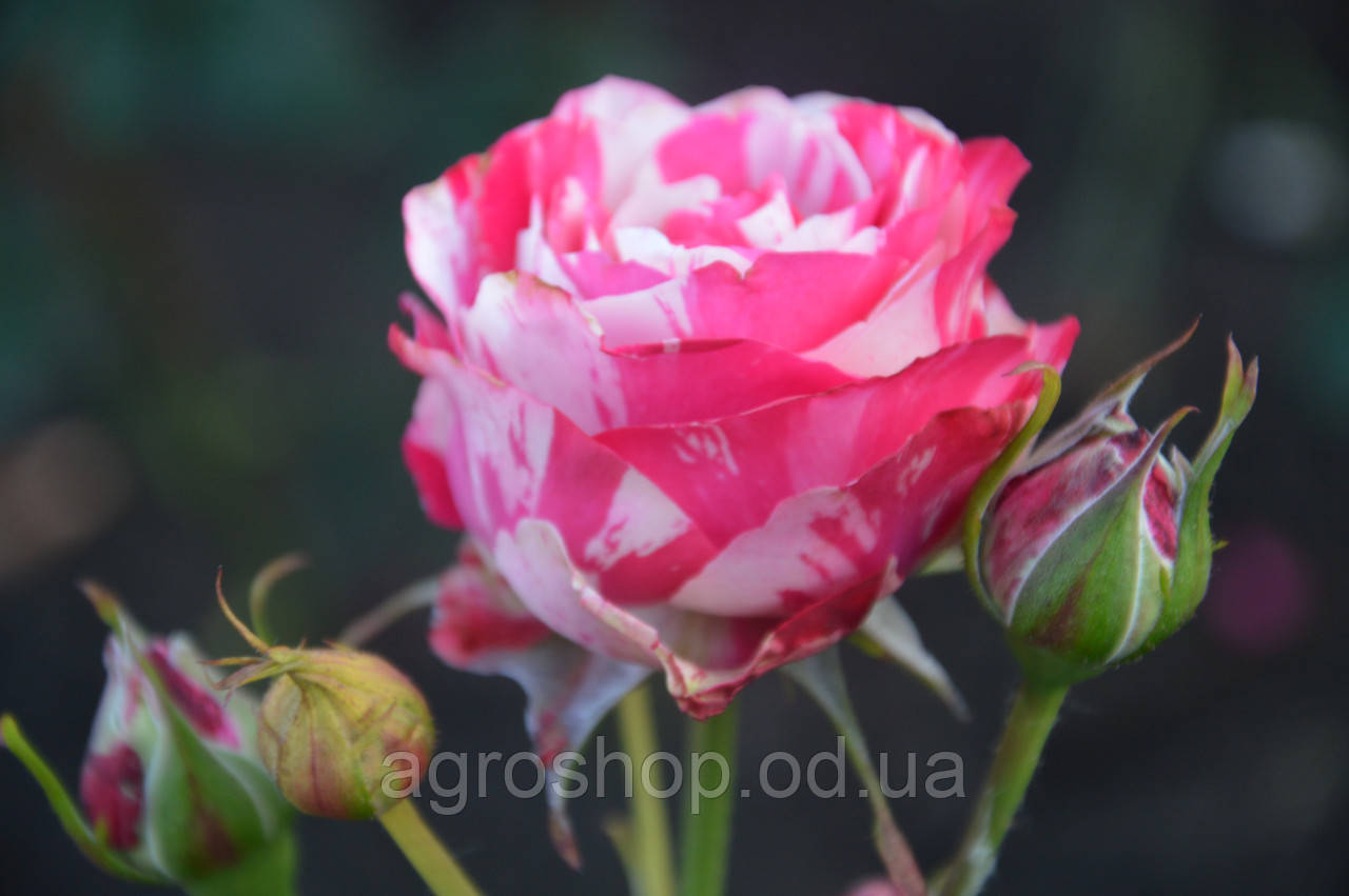 Роза чайно-гибридная Сатин (Satin)