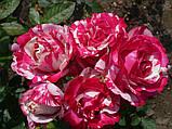Роза чайно-гибридная Сатин (Satin), фото 2