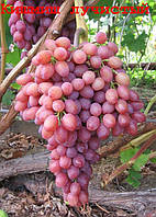 Виноград Кишмиш лучистый (ранне-средний) (саженцы)