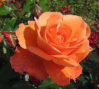 Роза Милва