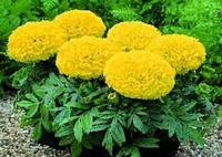 Семена бархатцы Чикаго желтый 500 шт