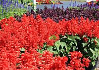 Семена сальвия Кампай глубоко красный 1 грамм