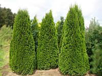 Туя западная (thuja occidentalis) - Smaragd (Смарагд)