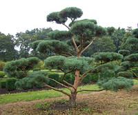 Pinus sylvestris Bonsai Сосна звичайна бонсай