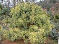 Pinus wallichiana 'Zebrina' Сосна гімалайська 'Zebrina'