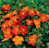 POTENTILLA SUNSET Лапчатка Сансет