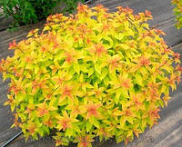 Spiraea japonica 'Goldflame' СПІРЕЯ ЯПОНСЬКА