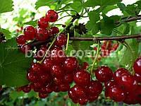 Красная смородина ЛЬВОВЯНКА, фото 1