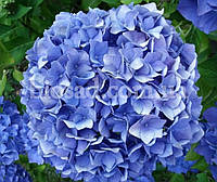 Гортензия ENDLESS SUMMER (Hydrangea Endless Summer)