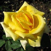 Саженцы розы бордюрной ЖЕЛТАЯ КУКЛА