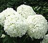 Гортензия H.SHEEP CLOUD (Hydrangea H.Sheep Cloud)