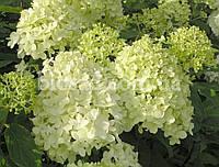 Гортензия метельчатая LIMELIGHT (Hydrangea paniculata Limelight)