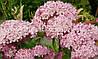 Гортензия INVINCIBELLE (Hydrangea arborescens)
