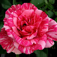 Роза чайно-гибридная Пинк интуишн (Pink Intuition)
