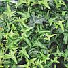 Плющ обыкновенный Sagittifolia, C3