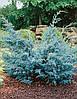 Можжевельник китайский Blue Alps, ком h-1,00-1,20
