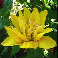 Луковица Лилия азиатская махровая Fata Morgana