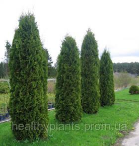 Туя колоновидна - Healthy Plants в Белой Церкви