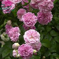Саженцы сиреневой плетистой розы Вартбург
