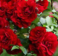 Саженцы красной плетистой розы Дублин Бай
