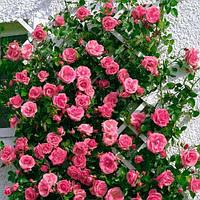 Саженцы красивой плетистой розы Лавиния