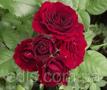 Роза спрей Ред Сенсейшен (Red Sensation), фото 2