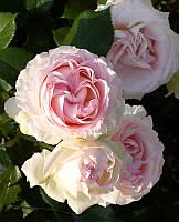 Роза плетистая английская Heart of Rose (Сердце розы)